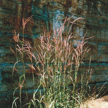 Picture of Big Bluestem - Seed