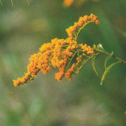 Picture of Dyers Weed - Seed