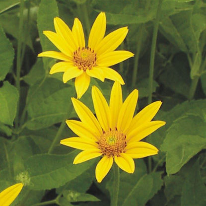 Picture of Early Sunflower - Seed