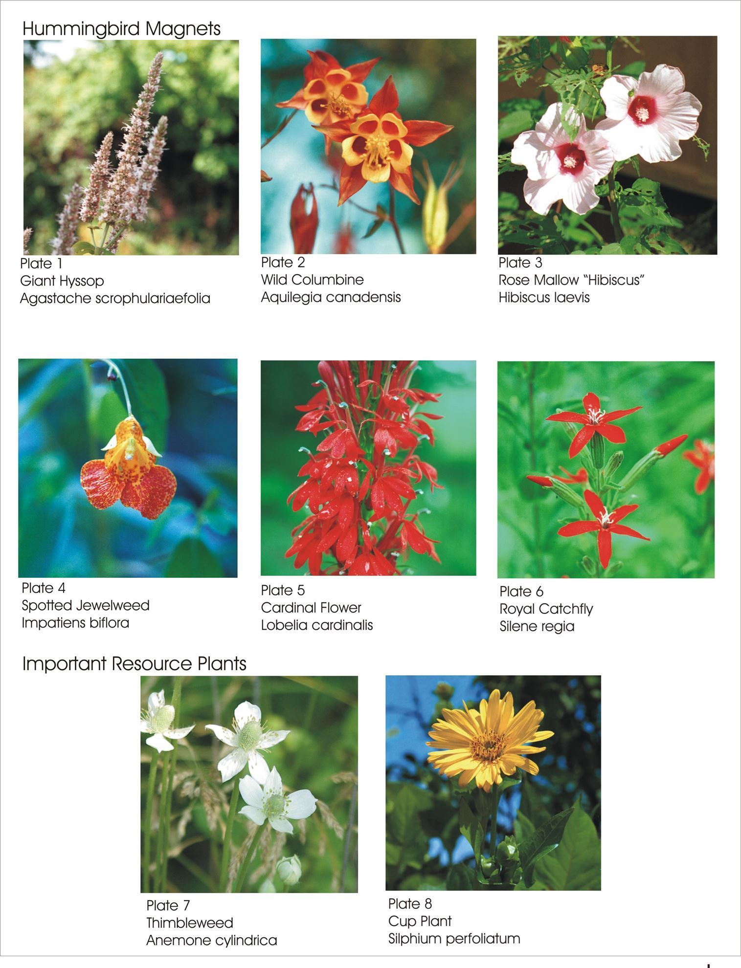 Picture of Wildflowers for Hummingbirds