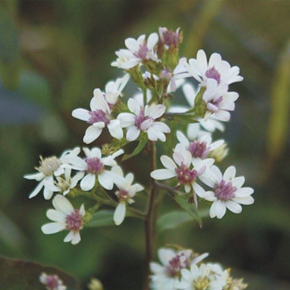 Picture of Arrow Aster - Seed