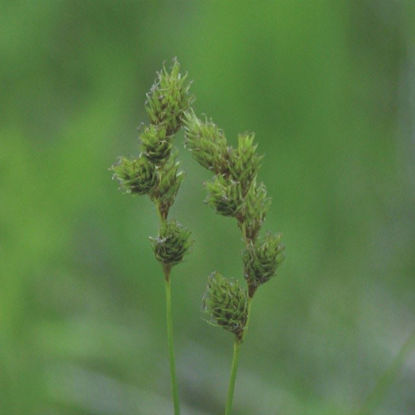 Picture of Bicknell's Sedge - Seed