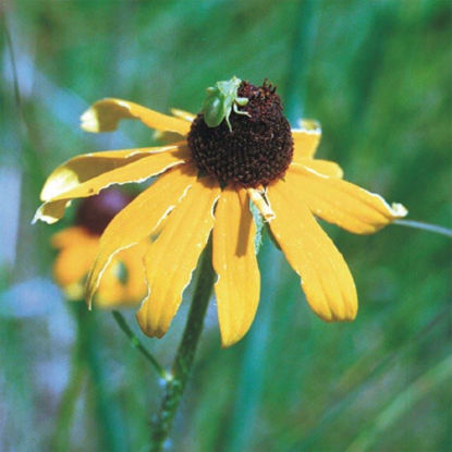 Picture of Black-eyed Susan - Seed