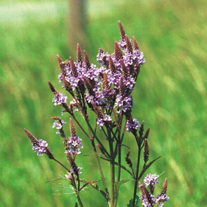 Picture of Blue Vervain - Seed