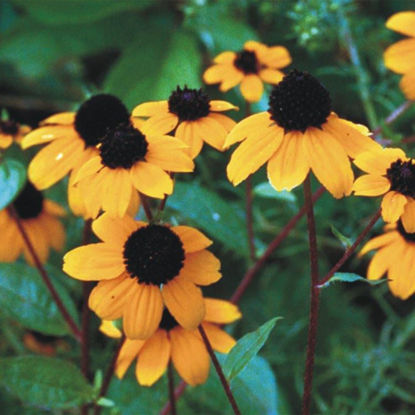 Picture of Brown-Eyed Susan - Seed
