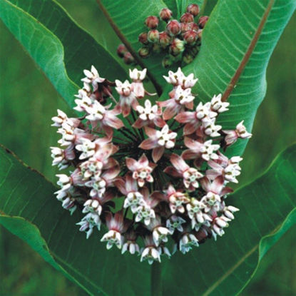 Picture of Common Milkweed - Seed
