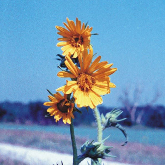 Picture of Compass Plant - Seed
