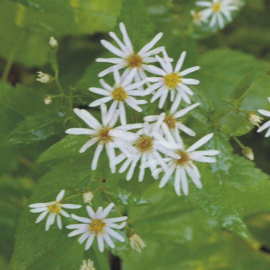 Picture of Forked Aster - Seed