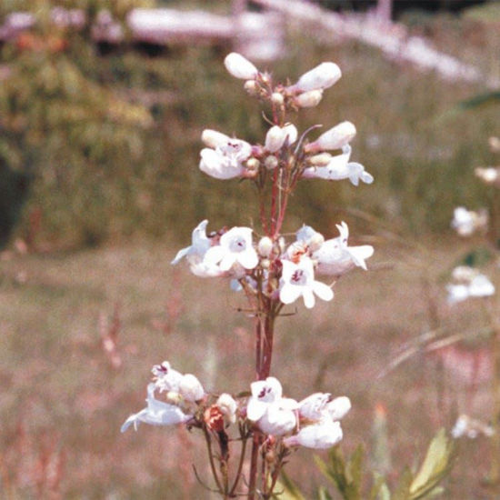 Picture of Fox Glove Penstemon - Seed