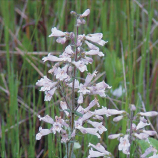 Picture of Hairy Penstemon - Seed