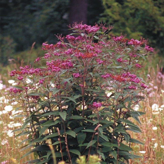 Picture of Ironweed - Seed