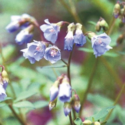 Picture of Jacob's Ladder - Seed