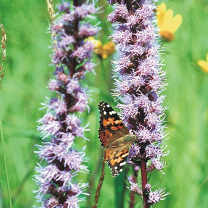 Picture of Marsh Blazing Star - Seed