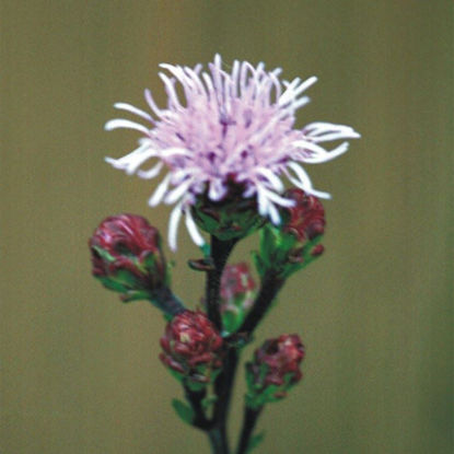 Picture of Meadow Blazing Star - Seed