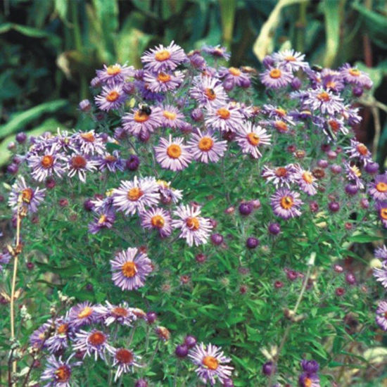 Picture of New England Aster - Seed