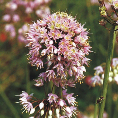 Picture of Nodding Onion - Seed