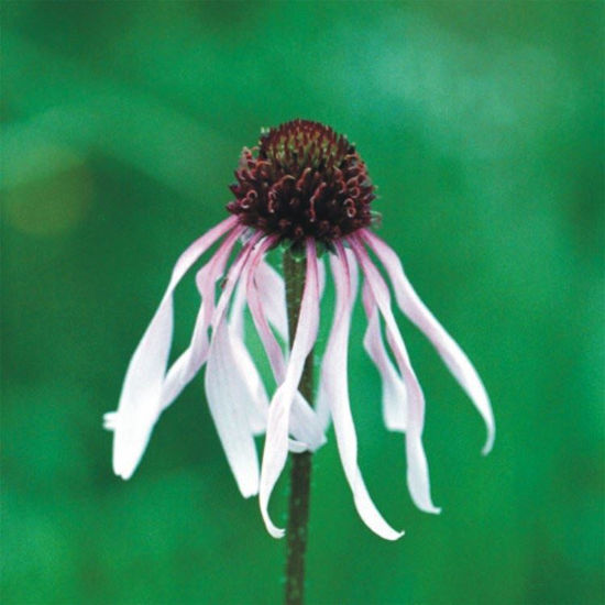 Picture of Pale Purple Coneflower - Seed