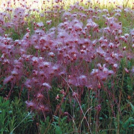 Picture of Prairie Smoke - Seed