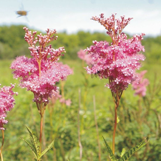 Picture of Queen of the Prairie - Seed