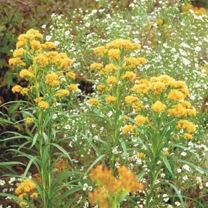 Picture of Riddell's Goldenrod - Seed