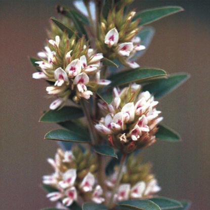 Picture of Round-headed Bushclover - Seed