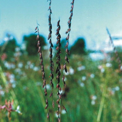 Picture of Side Oats  Grama - Seed