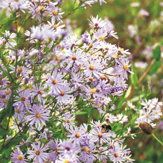 Picture of Sky Blue Aster - Seed