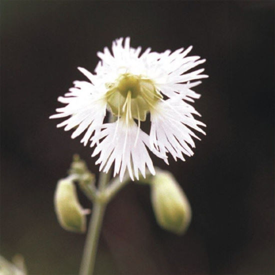 Picture of Starry Campion - Seed