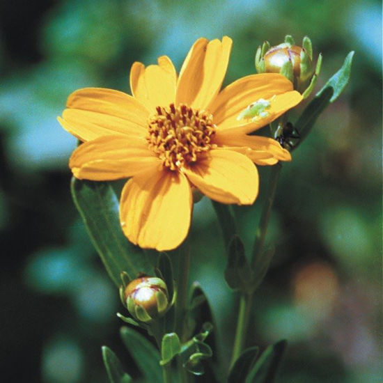 Picture of Stiff Coreopsis - Seed