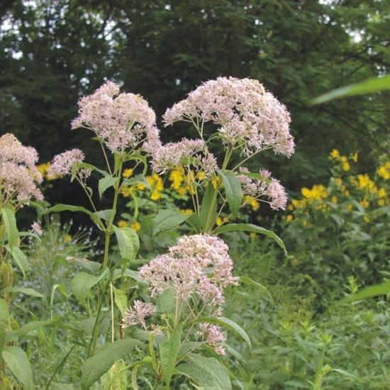 Picture of Sweet Joe Pye Weed - Seed