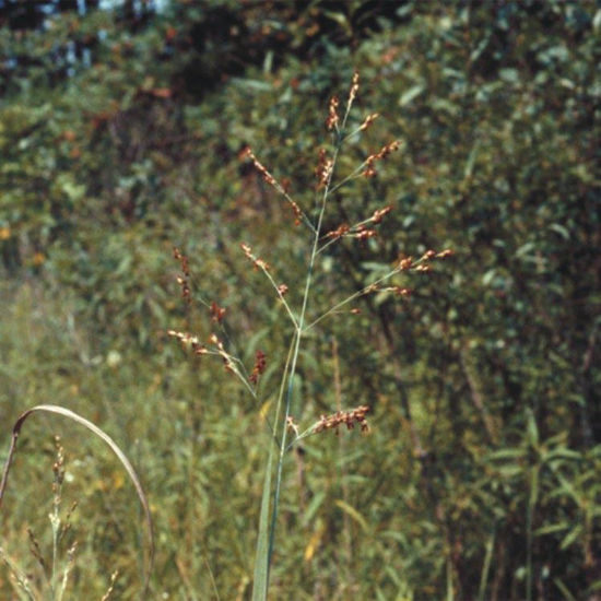 Picture of Switch Grass - Seed