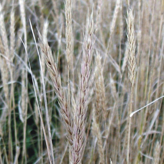 Picture of Virginia Wild Rye - Seed
