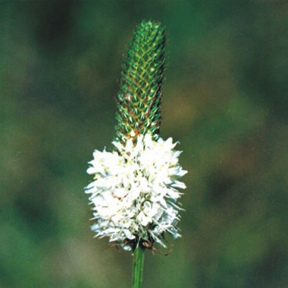 Picture of White Prairie Clover - Seed