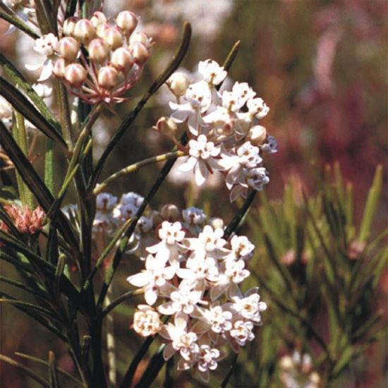 Picture of Whorled Milkweed - Seed