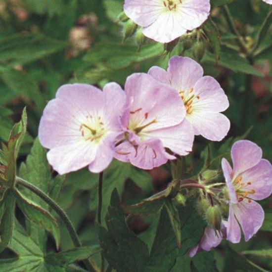 Picture of Wild Geranium - Seed