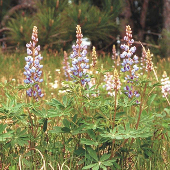 Picture of Wild Lupine - Seed
