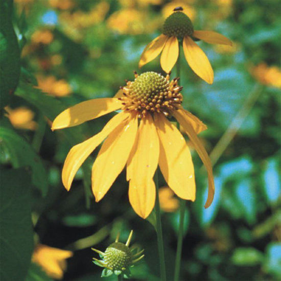 Picture of Wild Goldenglow - Seed