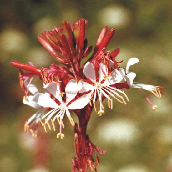 Gaura - Light pink white flowers