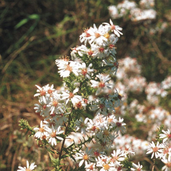 Picture of Frost Aster - Seed