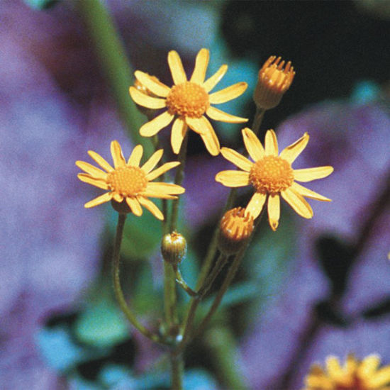 Picture of Golden Groundsel - Seed