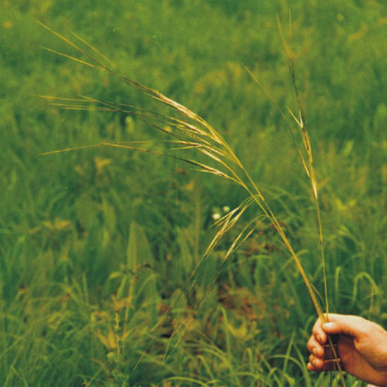 Picture of Needle Grass - Seed